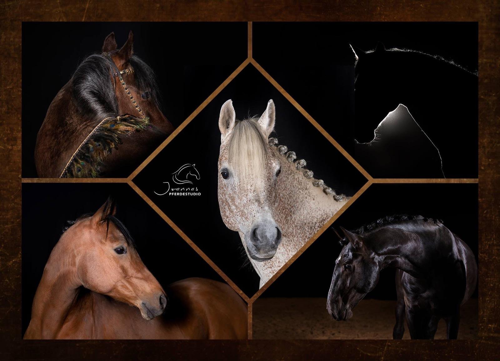#joannaspferdestudio schwarzer Hintergrund Pferdefotografie im Fotostudio